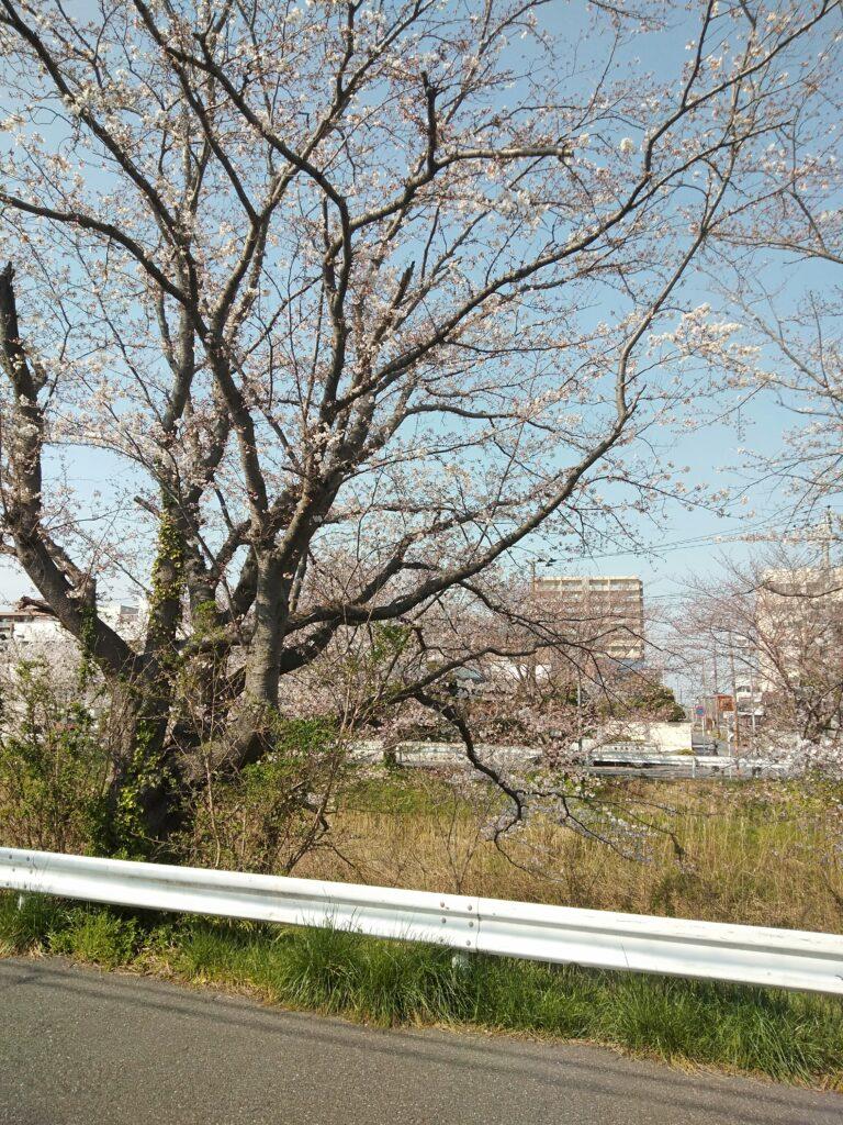 矢那川 桜 2021-03-26
